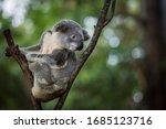 A Single Koala Bear Resting In...