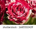 Soft Color Frou Frou Rose...