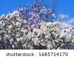 White Flower Of A Star Magnolia ...