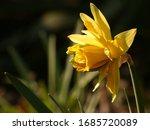Jonquils Or Rush Daffodil ...