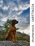 Small photo of Rhodesian ridgeback On The Top Of The Mountain in Noway