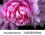 A Large Pink Rose Blossom In...