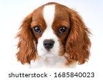 Little Dog Cavalier King...