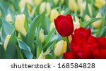 colorful tulips | Shutterstock . vector #168584828