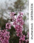 Bees Swarming A Pink Redbud Tree