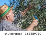 farmer at work with olive tree | Shutterstock . vector #168589790