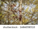 A Tufted Titmous Perches In A...