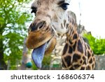 Giraffe. Face  Portrait. Zoo I...