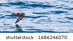 Small photo of Ashy Storm Petrel (Oceanodroma homochroa) flying low over the ocean surface off the Californian coast in the United States.