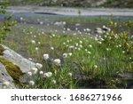 Cotton Grass Flower Field On...