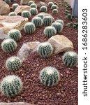 Groups Of Golden Barrel Cactus...