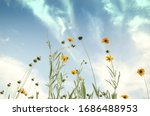 Looking Up At Daisies And Clouds