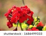 Red Geranium Flower Head In A...
