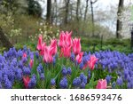 Pink Tulip Flowers With...