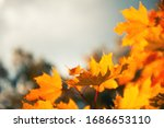 Yellow Maple Leaves Against Th...