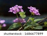 Purple Verbena Blossom. Orange...