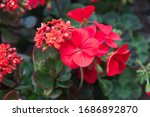 Red Geranium Zonal  Garden...