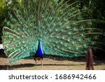 Peacock With Majestic Spreaded...