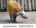 Bush Pig Or  Red River Hog  In...
