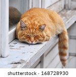 Red Haired Adult Cat Lies On A...