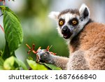 Ring Tailed Lemur Eats Flowers...