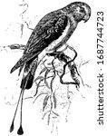 rachet tailed parakeet is a... | Shutterstock .eps vector #1687744723