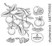 vector sketch citrus fruit... | Shutterstock .eps vector #1687745503