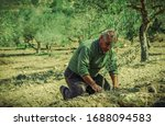 Old Man Planting An Olive Tree. ...
