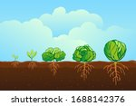 Cabbage Growing In The Field...