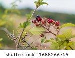 Wild Blackberries Ripen Along...