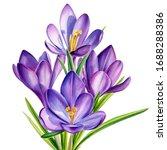 Purple Crocus Flower  Isolated...