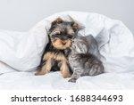 Kiten Kisses Yorkshire Terrier...