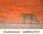 Leopard  Panthera Pardus ...