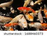 "Lots Koi Fish ""cyprinus Carpio..."