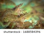 Live Fresh Shrimps On An...