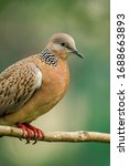 Spotted Dove Or  Spilopelia...