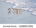 Sanderlings  Sandpipers  Along...