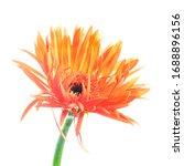 Beautiful Blooming Single Flame ...