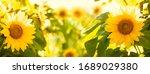 Sunflower Blooming In Field...
