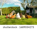 Small  Free Range Flock Of Hens ...