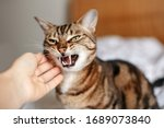 Small photo of Man woman petting stroking hissing angry tabby cat. Relationship of owner and domestic feline animal pet. Mad savage furry kitten. Scared cat is afraid of stranger.