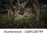 White Tailed Deer  Odocoileus...