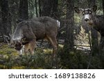 Two White Tailed Deer ...