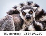 Portrait Of A Ring Tailed Lemur ...
