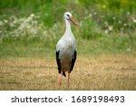 White Stork Bird  Ciconia...
