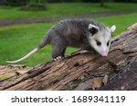 Small photo of Virginia Opossum Joeys (Didelphis virginiana) Stands Atop Log Summer - captive animal