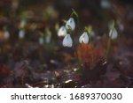 Snowdrop Flowers  Galanthus...