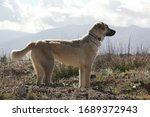 Anatolian Shepherd Dog Profiled ...