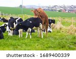 A Bull mounting a cow while other cattle and calfs grazie in the corner of a field near Groomsport village in North Down Northern Ireland