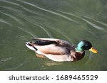 Mallard Duck With Brown And...